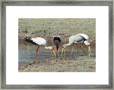 Yellow-billed Storks Foraging Together Framed Print by Tony Camacho