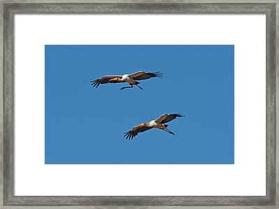 Yellow-billed Storks In Flight Framed Print by Tony Camacho