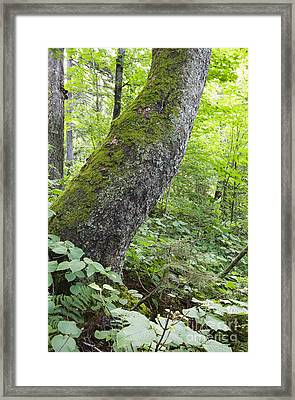 Yellow Birch Tree - Woodstock New Hampshire Framed Print by Erin Paul Donovan