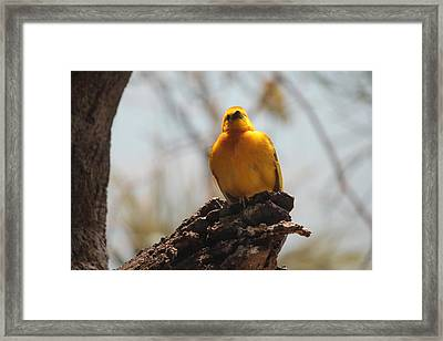 Yellow Bird In Trees Framed Print