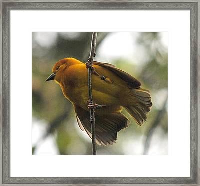 Yellow Bird Framed Print by Steve Archbold