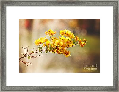 Yellow Bougainvillea Framed Print