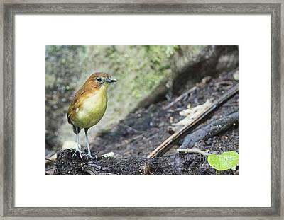 Yellow-breasted Antpitta Framed Print