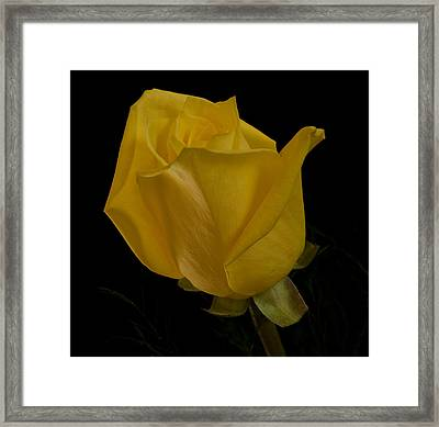 Yellow Bud Framed Print by Nancy Edwards