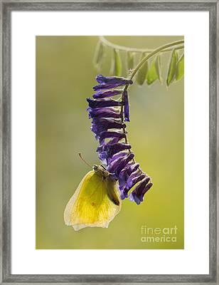 Yellow Buttefly On Violet Hanging Flowers Framed Print by Jaroslaw Blaminsky
