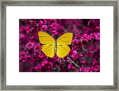 Yellow Butterfly Framed Print by Garry Gay