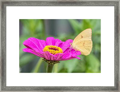 Framed Print featuring the photograph Yellow Butterfly  by Jeanne May