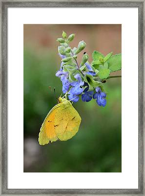 Yellow Butterfly On Blue Sage Framed Print