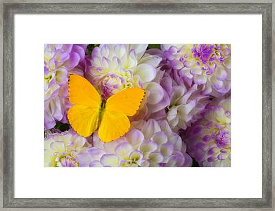 Yellow Butterfly On Dahlias Framed Print by Garry Gay