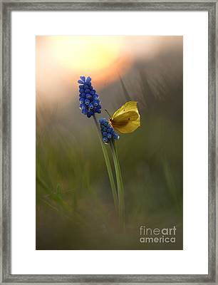 Yellow Butterfly On Grape Hyacinths Framed Print by Jaroslaw Blaminsky