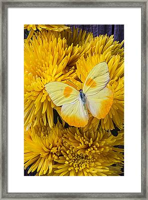 Yellow Butterfly On Yellow Mums Framed Print by Garry Gay