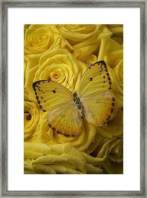 Yellow Butterfly On Yellow Roses Framed Print
