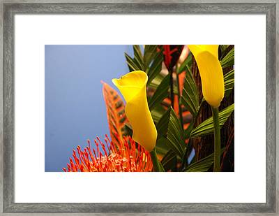 Yellow Calla Lilies Framed Print