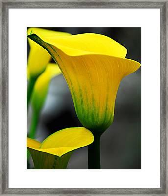 Yellow Calla Lily Framed Print by JoAnn Lense