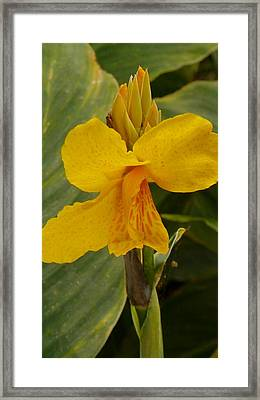 Yellow Canna  Framed Print by Christiane Schulze Art And Photography