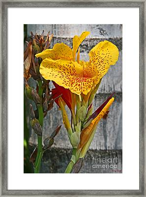 Yellow Canna Lily Framed Print by Kenny Bosak