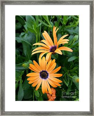 Yellow Cape Daisy Framed Print by Diane E Berry