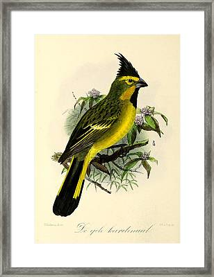 Yellow Cardinal Framed Print by Rob Dreyer