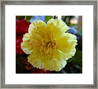 Yellow Carnation Delight Framed Print by Kurt Van Wagner