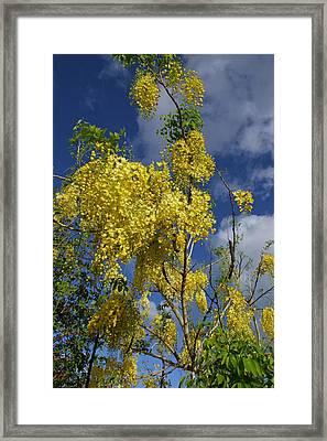 Yellow Cassia Framed Print by Gordon  Grimwade