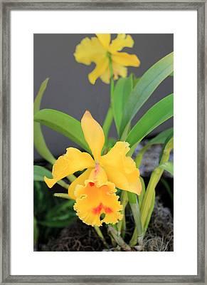 Yellow Cattleya Orchid Framed Print by Rosalie Scanlon