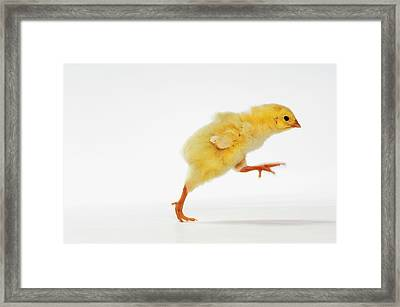 Yellow Chick. Baby Chicken Framed Print by Thomas Kitchin & Victoria Hurst