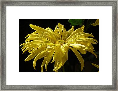 Yellow Chrysanthemum Framed Print by Jennifer Nelson