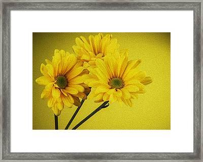Yellow Chrysanthemums  Framed Print by Vishwanath Bhat