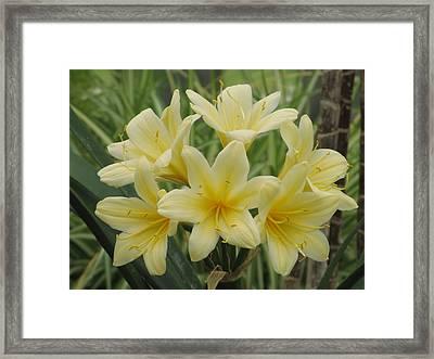 Yellow Clivia Lily Framed Print by Alfred Ng