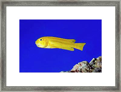 Yellow Clown Goby Or Okinawa Goby Framed Print