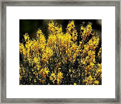 Yellow Cluster Flowers Framed Print by Matt Harang