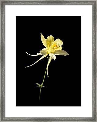 Yellow Columbine On Black Framed Print