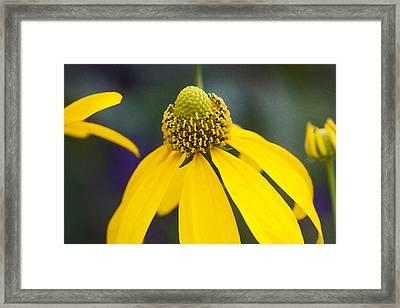 Yellow Cone Flower Rudbeckia Framed Print by Rich Franco