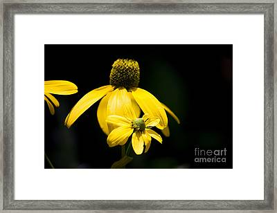 Yellow Coneflower Framed Print
