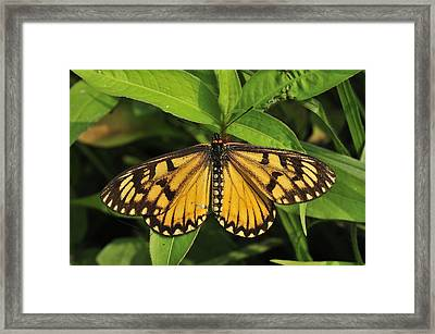 Yellow Coster Butterfly Manas Np India Framed Print by Thomas Marent