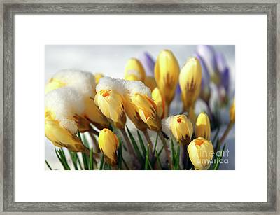 Yellow Crocuses In The Snow Framed Print