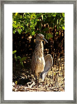 Yellow Crowned Night Heron Baby In The Mangroves Framed Print