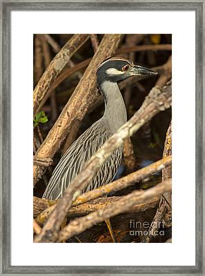 Yellow Crowned Night Heron Fishing Framed Print by Natural Focal Point Photography