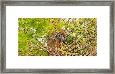 Yellow-crowned Night Heron Nyctanassa Framed Print by Panoramic Images