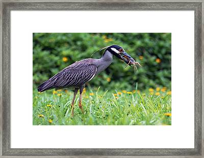 Yellow-crowned Night Heron With Crab Framed Print