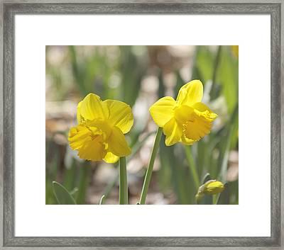 Yellow Daffodil Flowers Framed Print by Kim Hojnacki