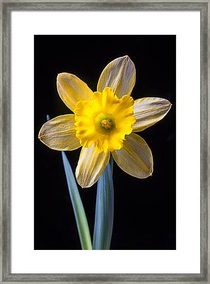 Yellow Daffodil Framed Print by Garry Gay