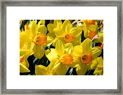 Yellow Daffodils Framed Print by Menachem Ganon