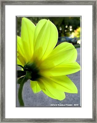 Yellow Dahlia Bloom Framed Print by Danielle  Parent