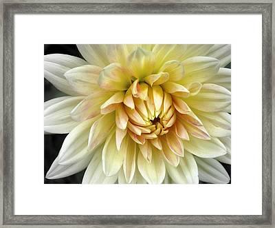Yellow Dahlia Framed Print by Janice Drew
