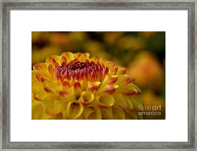 Framed Print featuring the photograph Yellow Dahlia Red Tips by Scott Lyons
