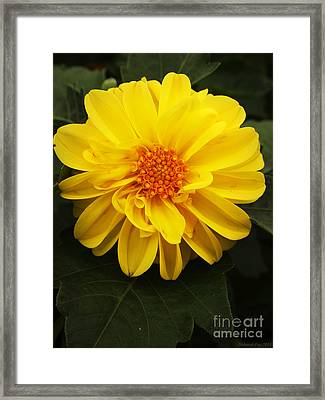 Yellow Dahlias Framed Print