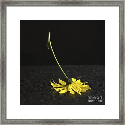 Yellow Daisy Framed Print by Bernard Jaubert