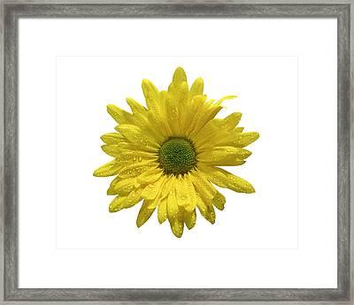 Yellow Daisy  Framed Print by Mauro Celotti