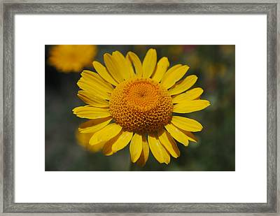 Framed Print featuring the photograph Yellow Daisy  by Robert  Moss